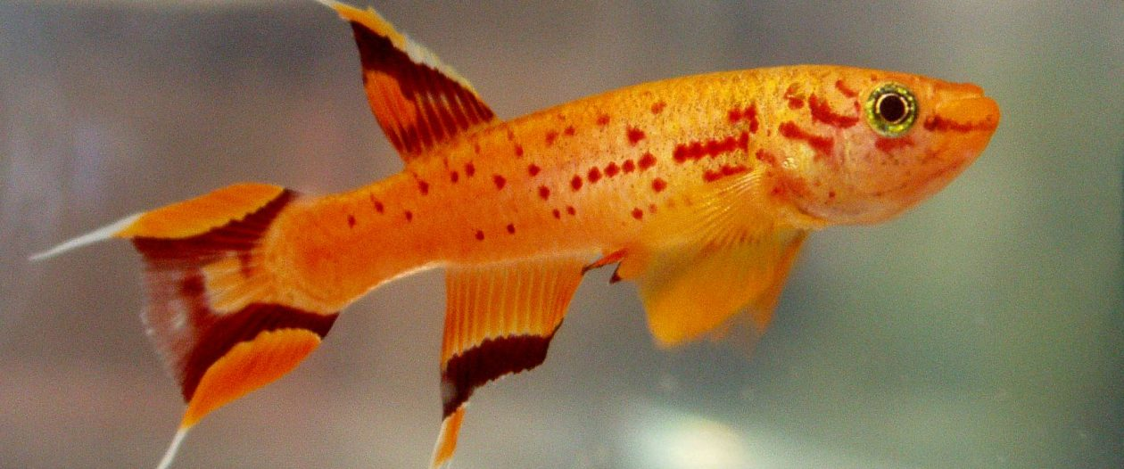 Killifish Breeding